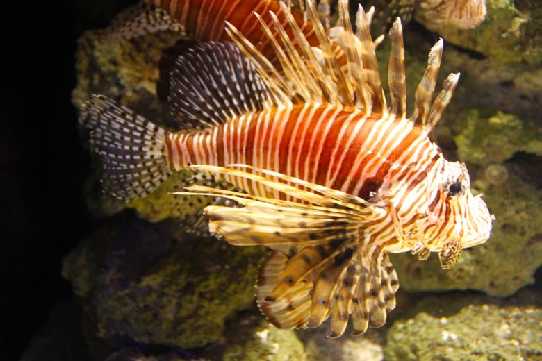 Free Stock Photo of Lion fish Created by Val Lawless