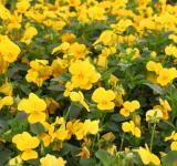 Free Photo - Yellow pansies