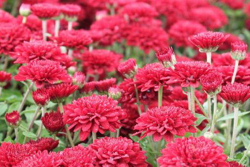 Red mums - Free Stock Photo