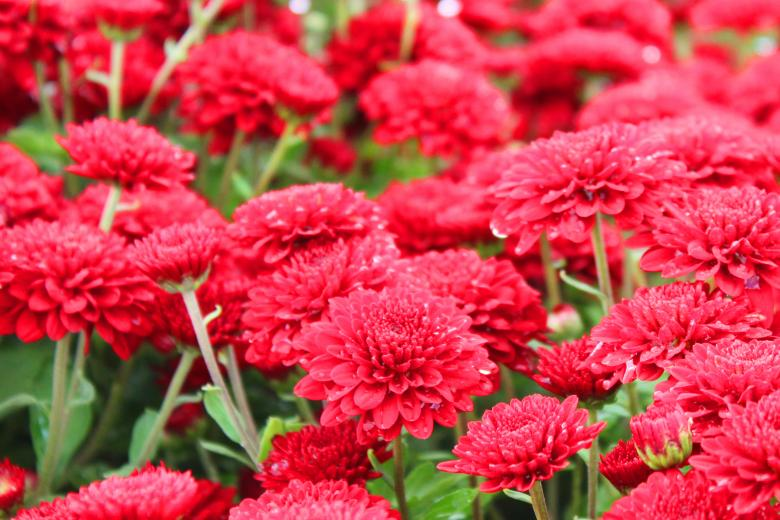 Free Stock Photo of Red mums Created by Val Lawless
