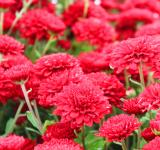 Free Photo - Red mums