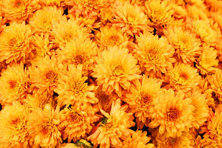 Yellow mums - Free Floral Backgrounds