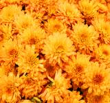 Free Photo - Yellow mums