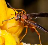 Free Photo - Wasp on yellow flower