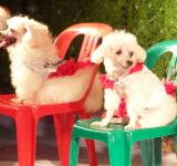 Free Photo - Poodle Dog Show
