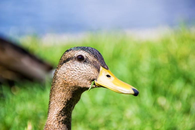 Free Stock Photo of Duck  Created by 2happy