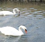Free Photo - Two swans