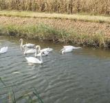 Free Photo - Swans in a channel