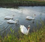 Free Photo - Group of swans