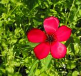 Free Photo - Red Flower