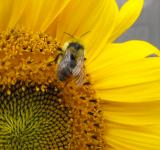 Free Photo - Bee on Sunflower