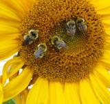 Free Photo - Bees on Sunflower
