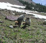 Free Photo - Sparring Marmots in Glacier Park