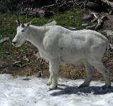 Free Photo - Single Mountain Goat