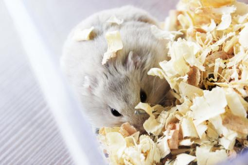 A hamster in wood shavings - Free Stock Photo