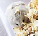 Free Photo - A hamster in wood shavings