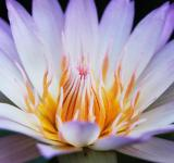 Free Photo - White lotus