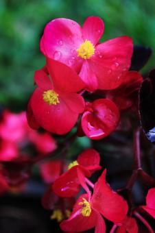 Red flowers with raindrops - Free Stock Photo