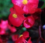 Free Photo - Red flowers with raindrops