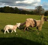 Free Photo - A Sheep and Lamb
