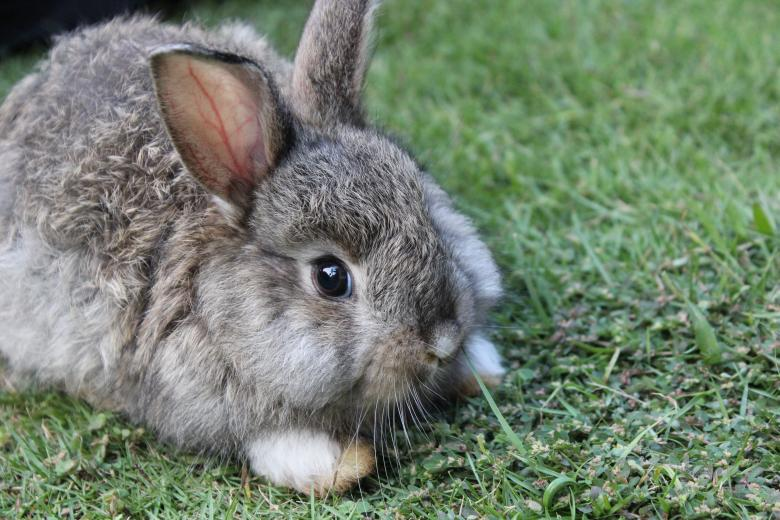 Free Stock Photo of A grey-brown baby bunny rabbit relaxing Created by Katriona Galahad