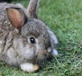 Free Photo - A grey-brown baby bunny rabbit relaxing