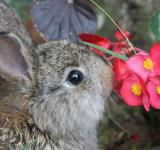 Free Photo - A brown rabbit sniffing red flowers