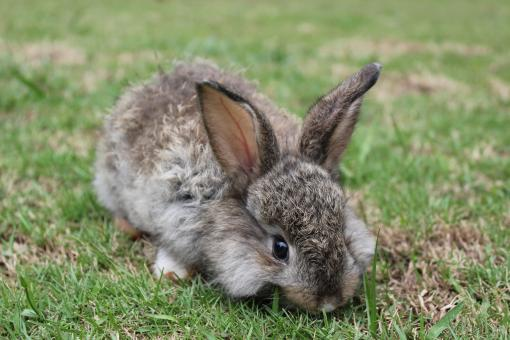 A baby bunny nibbling on fresh grass - Free Stock Photo