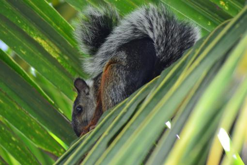Squirrel in a Palm Tree - Free Stock Photo