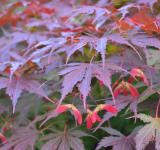 Free Photo - Maple leaves