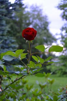 Single red rose - Free Stock Photo