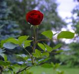 Free Photo - Single red rose