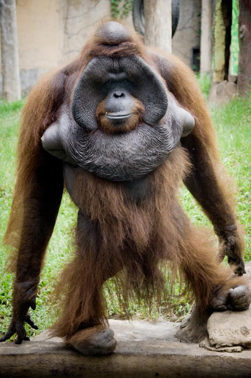 Free Stock Photo of Orangutan Created by Merelize