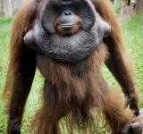 Free Photo - Orangutan