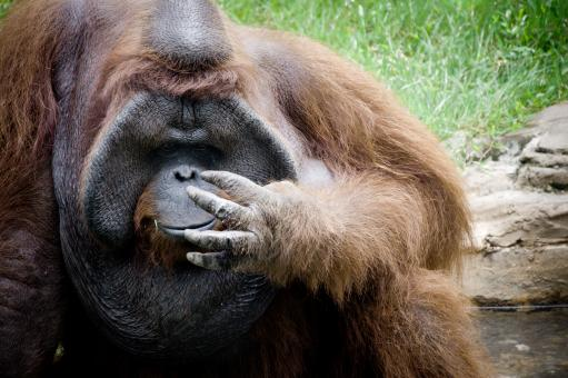 Orangutan monkey - Free Stock Photo