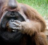 Free Photo - Orangutan monkey