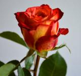 Free Photo - Valentine rose