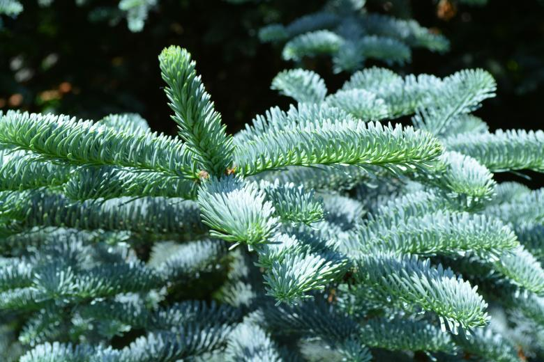 Free stock image of Silver fir tree branch created by Matija