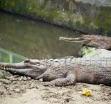 Free Photo - Crocodiles