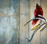 Free Photo - Red parrot