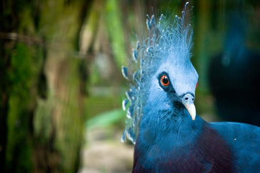 Blue peacock - Free Stock Photo