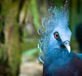 Free Photo - Blue peacock