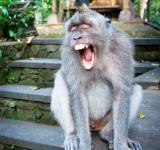 Free Photo - Monkey screaming