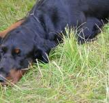 Free Photo - Gordon setter