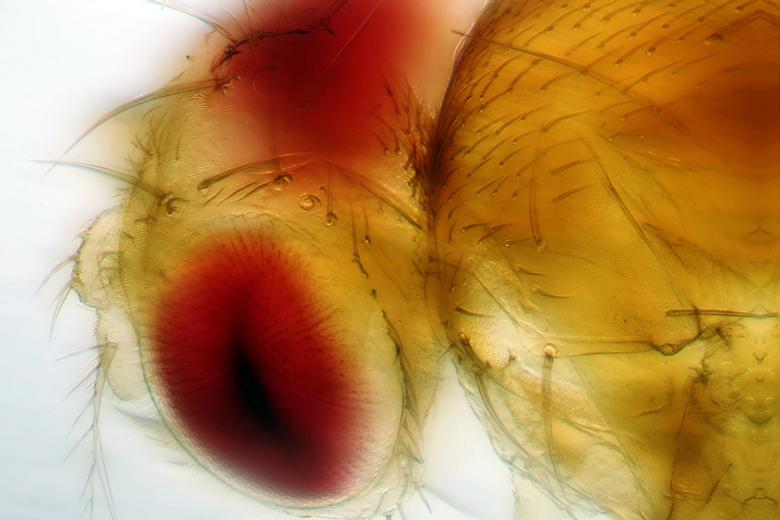 Free Stock Photo of Fruit fly Created by Geoffrey Whiteway
