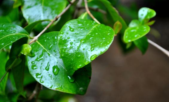 Raindrops on leaves - Free Stock Photo