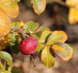 Free Photo - Autumn Berry