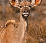 Free Photo - Young Kudu - Sepia