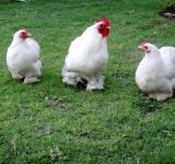 Free Photo - Bentum Hen