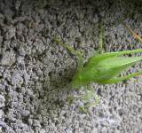Free Photo - Katie The Katydid